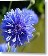 Cornflower Blue Metal Print by Sharon Lisa Clarke