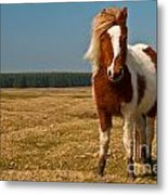 Cornish Pony Metal Print