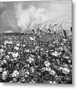 Cotton Field Metal Print