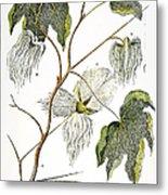 Cotton Plant, 1796 Metal Print