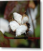 Cotton Pod 3 Metal Print