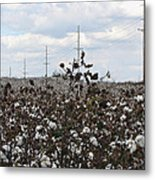 Cotton Ready For Harvest In Alabama Metal Print