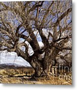 Cottonwood Tree At San Pedro House Metal Print