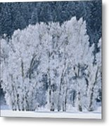 Cottonwood Trees With Frost Metal Print