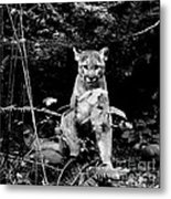Cougar In The Northwest Trek Wildlife Park Metal Print