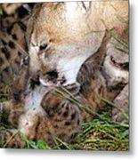 Cougar Mother Licks Kitten Metal Print