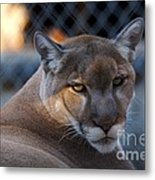 Cougar Portrait - Sad Eyes Metal Print