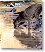 Cougar Stops For A Drink Metal Print