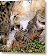 Couger Mom Cleans Kitten Metal Print