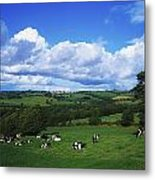 County Tipperary, Ireland, Dairy Cattle Metal Print