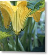 Courgette Flower Metal Print