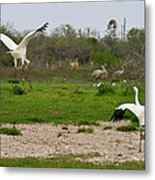 Courtship With Audience Metal Print