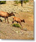 Cow And Calf Elk Metal Print