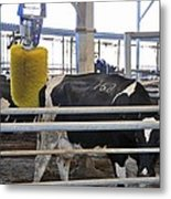 Cow Brush Metal Print by Photostock-israel