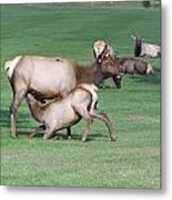 Cow Elk Feeding Calf Metal Print