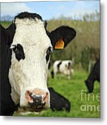 Cow Facing Camera Metal Print