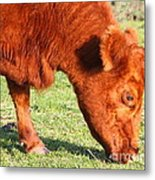 Cow Grazing In The Field . 7d9931 Metal Print