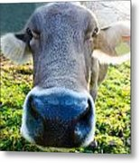 Cow In Backlight Metal Print