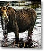 Cow Moose Metal Print