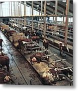 Cow Shed Metal Print by Bjorn Svensson