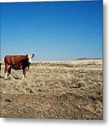 Cows At Sp Crater Metal Print