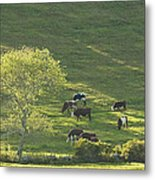 Cows On Hillside Summer In Maine Metal Print
