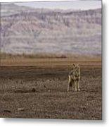 Coyote Badlands National Park Metal Print