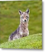 Coyote Behind The Hill Metal Print