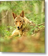 Coyote Caught Napping Metal Print