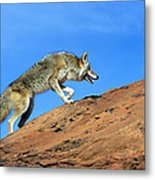 Coyote Climbs Mountain Metal Print