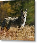 Coyote On A Fall Meadow Metal Print