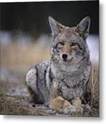 Coyote Resting In Winter Grass, Snowing Metal Print
