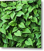Creeping Navelwort (omphalodes 'alba') Metal Print