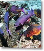 Creole Wrasse At A Cleaning Station Metal Print