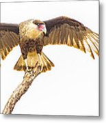 Crested Caracara Taking Off Metal Print