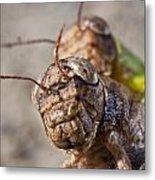 Crickets Mating Metal Print