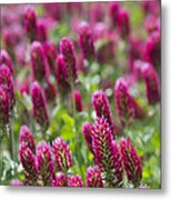 Crimson Clover In All Its Glory Metal Print