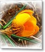 Crocus Gold Two Metal Print