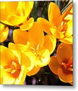 Crocuses In Yellow Metal Print