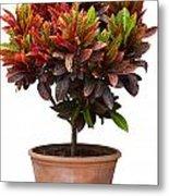 Croton Tree In Flowerpot Metal Print