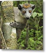 Crowned Lemur Eulemur Coronatus Female Metal Print