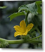 Cucumber Flower Metal Print