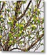 Cucumber Tree Blossoms Metal Print