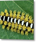 Cup Moth Limacodidae Caterpillar On Leaf Metal Print