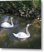Curious Swans Metal Print