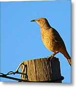 Curved Billed Thrasher Sitting On A Post Metal Print