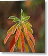 Cushion Spurge Metal Print