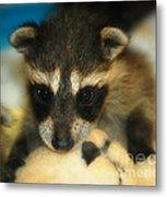 Cute Face Behind The Mask Baby Raccoon Metal Print