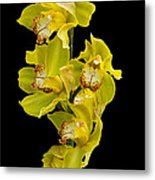 Cymbidium - Boat Orchid Metal Print