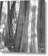 Cypress Path Metal Print